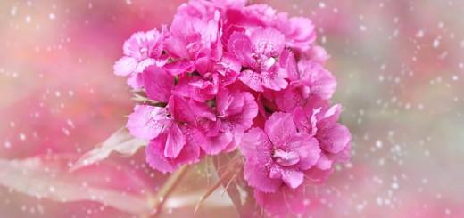 carnation-632834_640